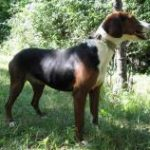Race-chien-courant-serbe