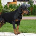 Chien courant slovaque