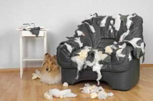 Mon chien détruit tout : les causes
