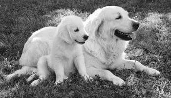 allaitement chez la chienne