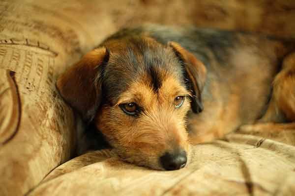 Mycoses cutanées chez le chien : symptômes et traitements