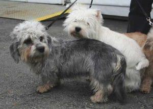 Race-Dandie-Dinmont-Terrier