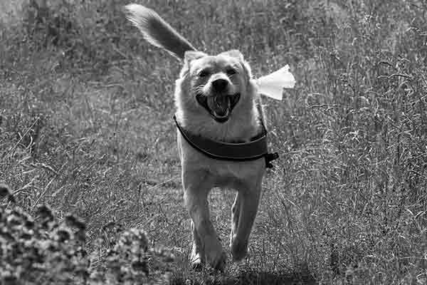 mon chien ne veut pas courir