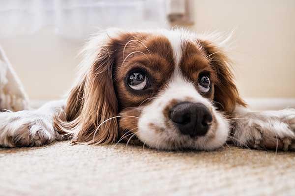 Mon chien urine dans la maison : causes et solutions