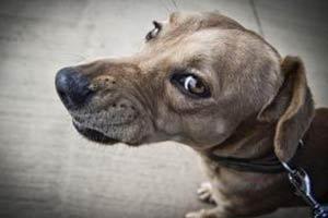 Mon chien grogne : pourquoi et comment réagir