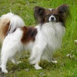 Race-Chien-Epagneul-Nain-Continental