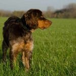 Race-Chien-Epagneul-Picard