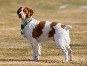 Race-chien-Epagneul-breton