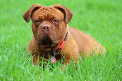 dogue de bordeaux ducation caract re sant prix et budget. Black Bedroom Furniture Sets. Home Design Ideas