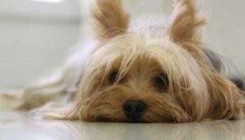 hypercorticisme chez le chien