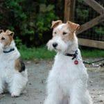 race-chien-fox-terrier