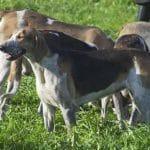 race-chien-grand-anglo-francais-tricolore