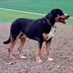 race-chien-grand-bouivier-suisse