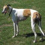 race-chien-greyhound