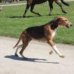 race-chien-francais-tricolore