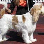 race-chien-grand-basset-griffon-vendeen