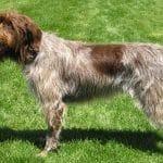 race-chien-griffon-a-poil-dur-korthals