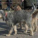 race-chien-griffon-nivernais