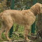 race-chien-griffon-fauve-de-bretagne