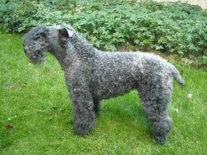 race-chien-kerry-blue-terrier