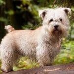 race-chien-terrier-irlandais-glen-of-imaal