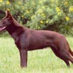 race-chien-kelpie-australien