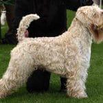 race-chien-terrier-irlandais-a-poil-doux
