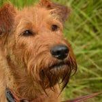 rache-chien-terrier-irlandais-irish-terrier