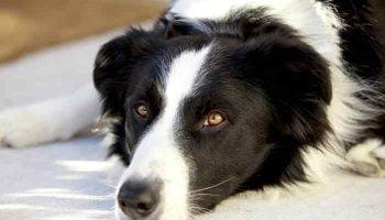 calmant pour chien