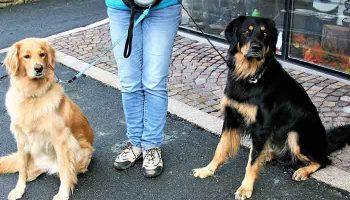 promener deux chiens en même temps