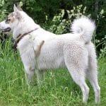 race-chien-laika-de-siberie-occidentale