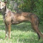race-chien-levrier-espagnol