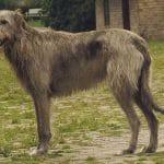 race-chien-levrier-irlandais