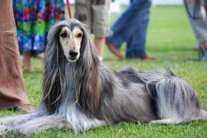race-chien-levrier-afghan