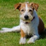race-chien-kromfohrlander