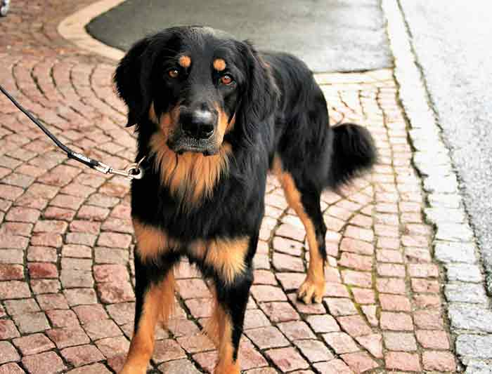 apprendre la marche au pied à son chien