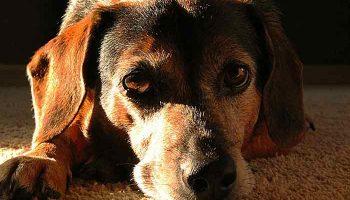 automutilation chez le chien