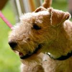 race-chien-lakeland-terrier