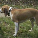 Petit chien courant suisse
