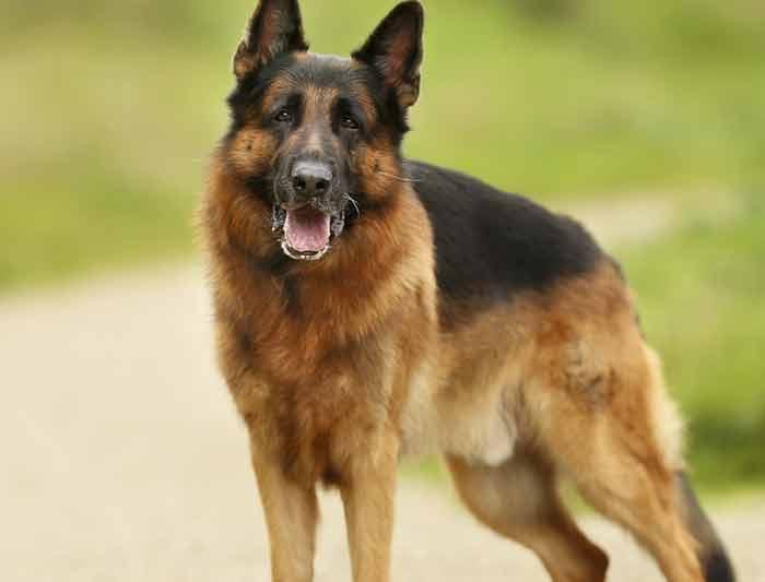 hernie discale chez le chien