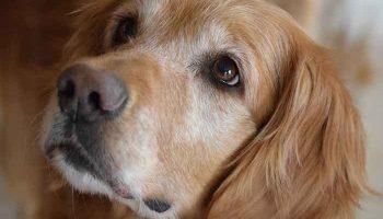 hypothyroïdie du chien
