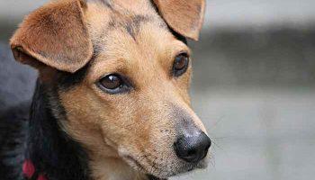 danger du collier electrique pour chien