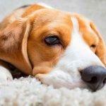 Un chien ressent les émotions négatives