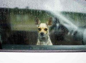 Un chien laissé enfermé dans une voiture