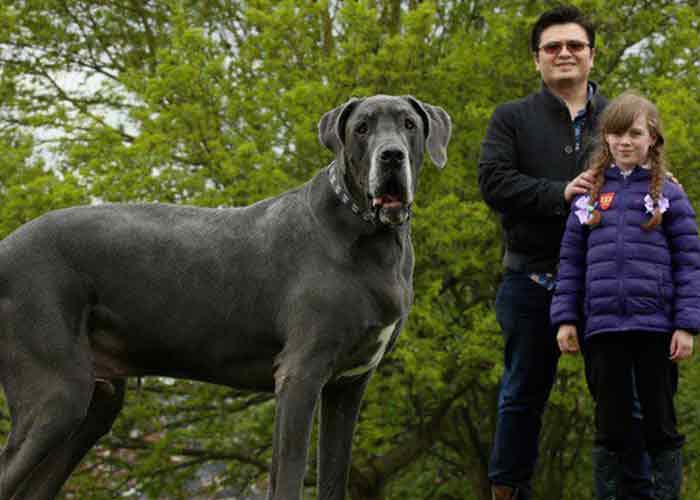 angleterre un chien au poids l phantesque. Black Bedroom Furniture Sets. Home Design Ideas