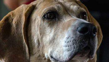 cardiomyopathie dilatee du chien