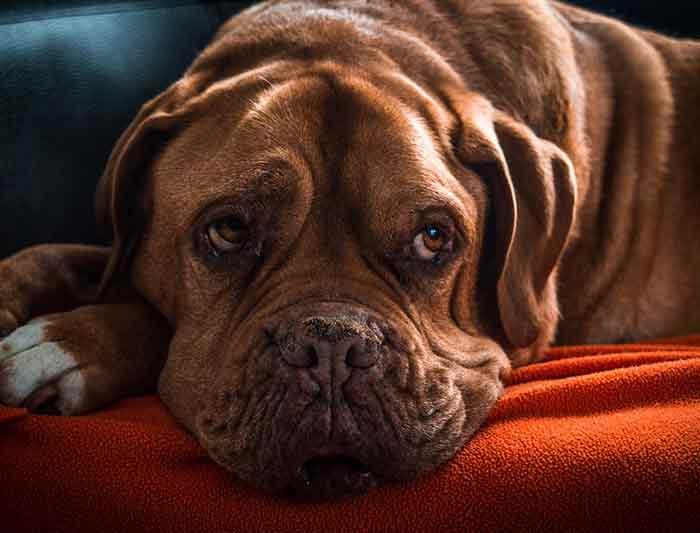 d terminer l ge humain de votre chien. Black Bedroom Furniture Sets. Home Design Ideas