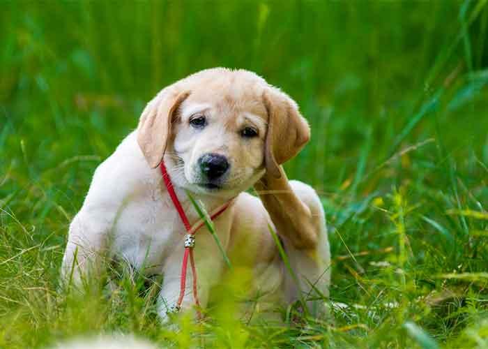 Un chien qui se gratte l'oreille