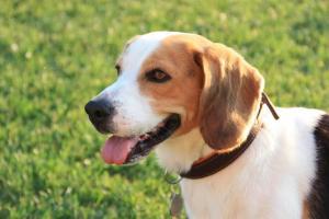 assurance chien beagle