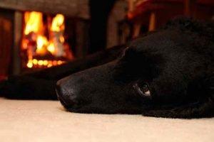 Un chien proche d'une cheminée peut se brûler